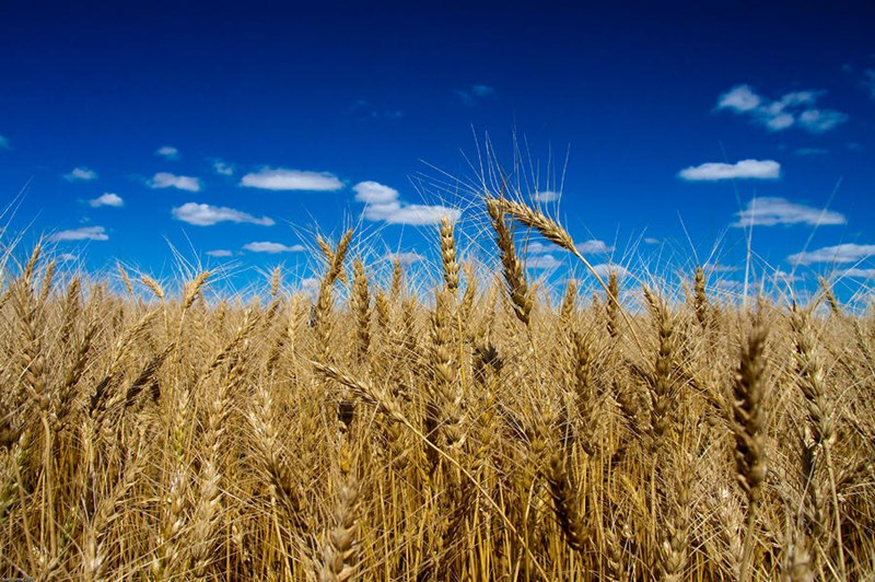 Photo_for_Gonnella_enviromentb_statement_wheat-field-